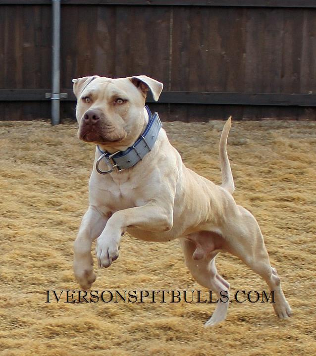 Fighting Pitbull Bloodlines